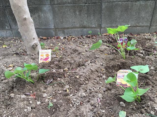 サツマイモ栽培再開