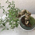 枸杞の木の盆栽を購入