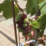 ブドウの鉢植えを購入
